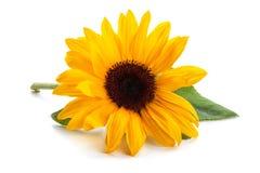 Sonnenblume mit Blättern lizenzfreie stockfotos