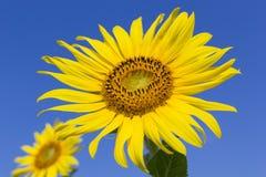 Sonnenblume mit blauem Himmel Lizenzfreie Stockfotos