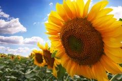 Sonnenblume mit blauem Himmel stockfotografie