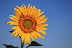 Sonnenblume mit blauem Himmel Stockfoto