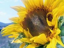 Sonnenblume mit blauem Himmel und Wolken Landschaft mit Sonnenblumenfeld über bewölktem blauem Himmel Lizenzfreies Stockbild