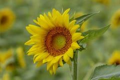 Sonnenblume mit blauem Hintergrund Stockbilder