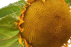 Sonnenblume mit blauem Hintergrund Stockfotos