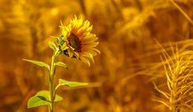 Sonnenblume mit dem Reichtum der Erde lizenzfreies stockbild
