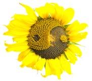 Sonnenblume mit dem Symbol von YinYang stockfotos