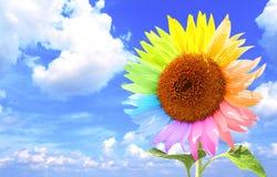 Sonnenblume mit den Blumenblättern, gemalt in den verschiedenen Farben Lizenzfreie Stockfotografie