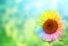 Sonnenblume mit den Blumenblättern gemalt in den Regenbogenfarben Stockfotos