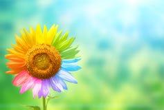 Sonnenblume mit den Blumenblättern gemalt in den Regenbogenfarben Lizenzfreie Stockfotos