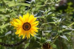 Sonnenblume mit den hintergrundbeleuchteten Blumenblättern Stockfoto