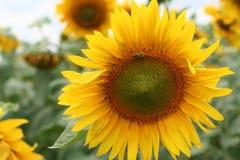 Sonnenblume mit der Biene Stockfoto