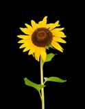 Sonnenblume mit drei Bienen Stockfotografie