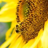 Sonnenblume mit einer Biene 2 lizenzfreies stockfoto