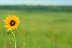 Sonnenblume mit Exemplarplatz Lizenzfreie Stockfotos