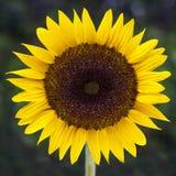 Sonnenblume mit grünem Hintergrund Stockfoto