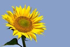 Sonnenblume mit Himmelhintergrund Lizenzfreie Stockfotos