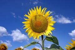 Sonnenblume mit Himmelhintergrund Lizenzfreie Stockbilder