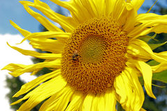 Sonnenblume mit Hummel Lizenzfreie Stockfotografie