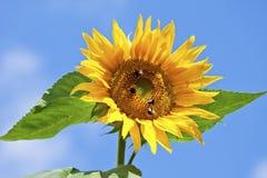Sonnenblume mit Hummeln, Abschluss oben Stockfoto