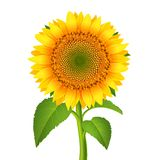 Sonnenblume mit pedicle Stockfoto