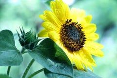 Sonnenblume mit Regentropfen nach Regenlandschaftsnahaufnahme stockbilder