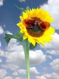 Sonnenblume mit rosafarbenen Sonnenbrillen Stockfotos