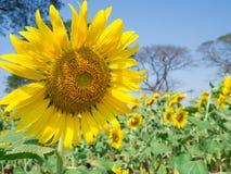 Sonnenblume mit Sonnenblumen arbeiten und unscharfem Ba des blauen Himmels im Garten Lizenzfreies Stockfoto