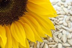 Sonnenblume mit Sonnenblumensamen - Nahaufnahme Lizenzfreie Stockfotografie