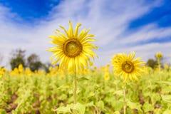 Sonnenblume mit tiefem blauem Himmel stockfotos