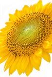 Sonnenblume mit weißem Hintergrund Lizenzfreies Stockfoto