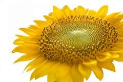 Sonnenblume mit weißem Hintergrund Lizenzfreie Stockfotografie