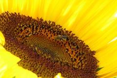 Sonnenblume mit Wespe Lizenzfreies Stockfoto
