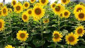 Sonnenblume mit Wind stock video footage