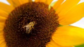 Sonnenblume mit zwei Honigbienen, die Blütenstaub auf Sonnenblumenkopf sammeln stock video footage