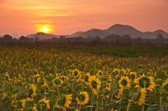 Sonnenblume morgens Lizenzfreie Stockbilder