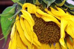 Sonnenblume nach Regennahaufnahme im Frühherbst lizenzfreie stockbilder