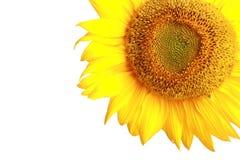 Sonnenblume nah oben über Weiß Stockfotos
