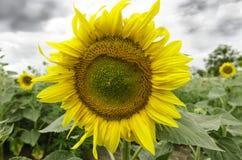 Sonnenblume nah oben mit schweren Wolken Lizenzfreie Stockfotos