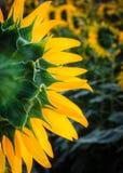Sonnenblume nah oben von der Rückseite Stockbilder