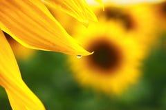 Sonnenblume. Nahaufnahme stockbilder