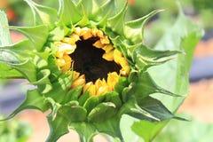 Sonnenblume-Nahaufnahme Stockfotografie