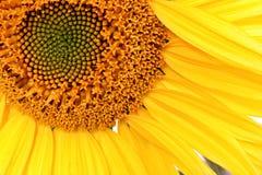 Sonnenblume-nahes hohes Stockfoto