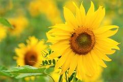 Sonnenblume am netten backround Lizenzfreie Stockfotos