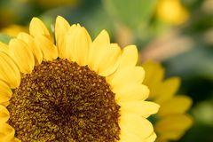 Sonnenblume an Park Suan Luang Rama IX, Thailand lizenzfreies stockfoto