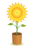 Sonnenblume-Potenziometer Stockfoto