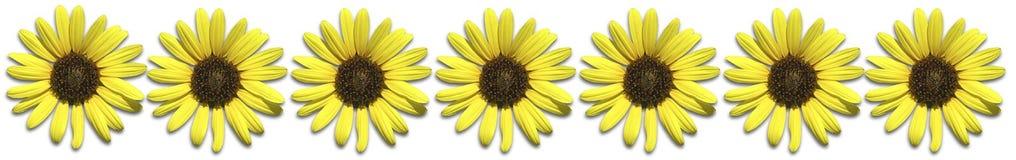 Sonnenblume-Rand Stockfoto