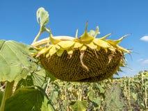 Sonnenblume reift auf dem Gebiet Lizenzfreie Stockfotografie