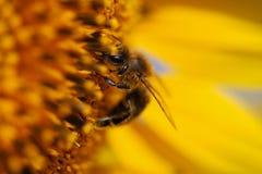 Sonnenblume, Süd-Moray, Tschechische Republik Stockfotografie