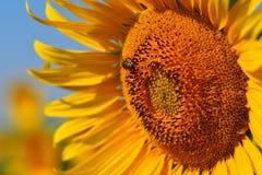 Sonnenblume, Süd-Moray, Tschechische Republik Stockfotos