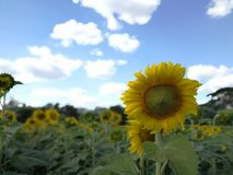 Sonnenblume in Saraburi, Thailand Stockfotografie