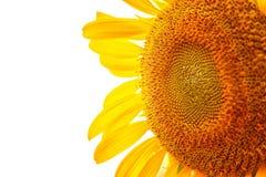 Sonnenblume selektiver Fokus der Nahaufnahme Lizenzfreie Stockbilder
